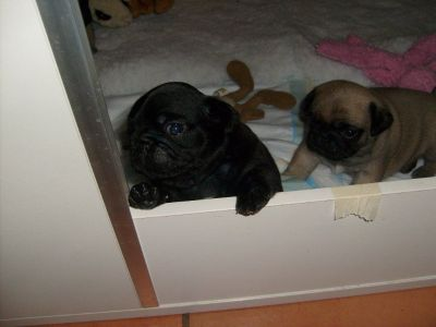 Gorgeous litter of Pug puppies