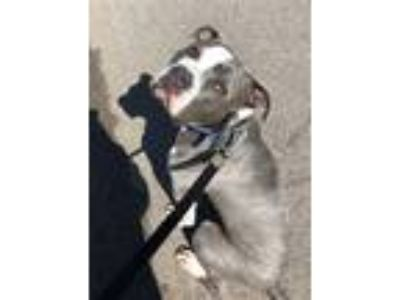Adopt Brooks a Pit Bull Terrier