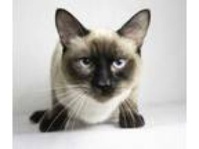 Adopt Baby a Brown or Chocolate Siamese / Domestic Shorthair / Mixed cat in