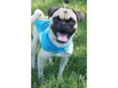 Adopt Dimitri a Pug / Mixed dog in San Diego, CA (25833676)