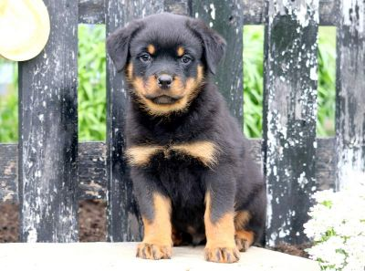 Rottweiler PUPPY FOR SALE ADN-79223 - Rottweiler Puppy for Sale