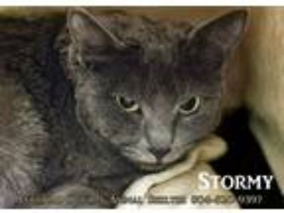 Adopt Stormy a Gray or Blue Domestic Shorthair (short coat) cat in Colonial