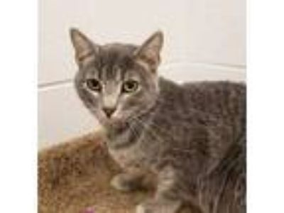 Adopt a Gray, Blue or Silver Tabby American Shorthair / Mixed (short coat) cat