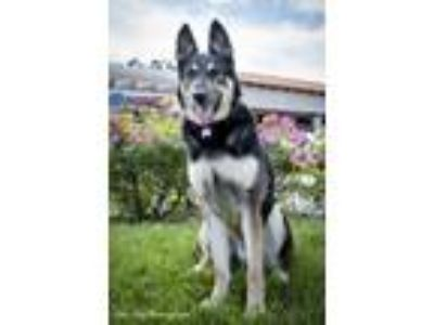 Adopt Oliver - Claremont a German Shepherd Dog / Mixed dog in Chino Hills