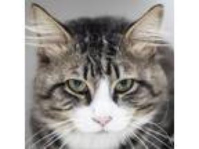 Adopt Taurus a Brown or Chocolate Domestic Longhair cat in Middletown
