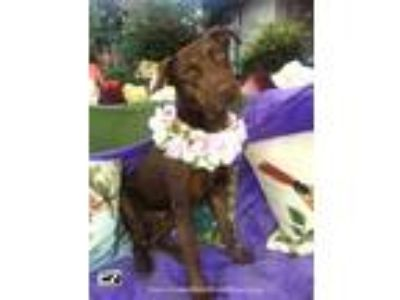 Adopt ADORABLE ALLIE a Doberman Pinscher, Labrador Retriever