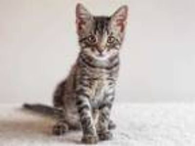 Adopt GUINNESS a Brown Tabby Domestic Shorthair / Mixed (short coat) cat in