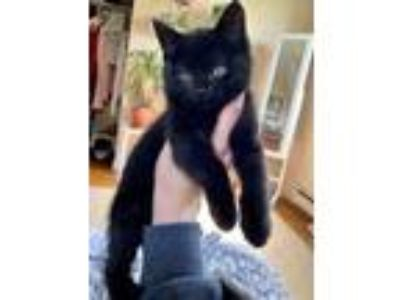 Adopt Heugo a All Black Domestic Shorthair / Domestic Shorthair / Mixed cat in