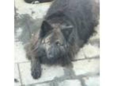 Adopt Fiona a Black - with Brown, Red, Golden, Orange or Chestnut Chow Chow /