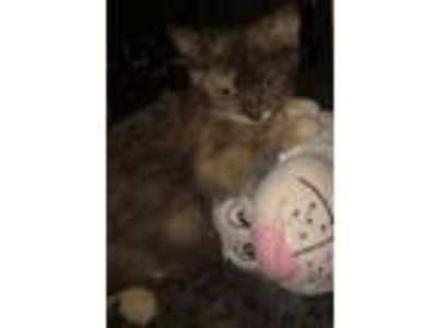 Adopt Trudy a Tortoiseshell Domestic Shorthair / Mixed (short coat) cat in