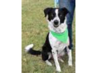 Adopt Link a Black Border Collie / Mixed dog in Cleburne, TX (25892858)