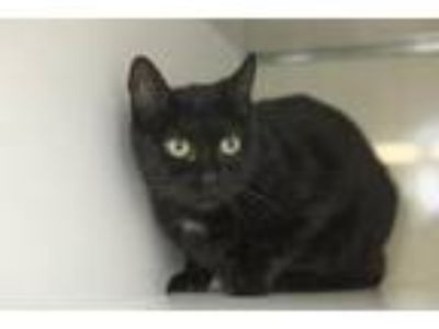 Adopt Mama's a All Black Domestic Shorthair / Mixed cat in St.