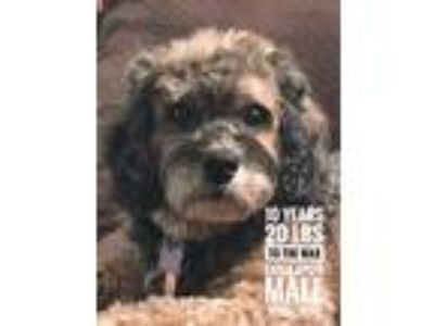 Adopt To The Max a Gray/Silver/Salt & Pepper - with Black Cockapoo / Mixed dog