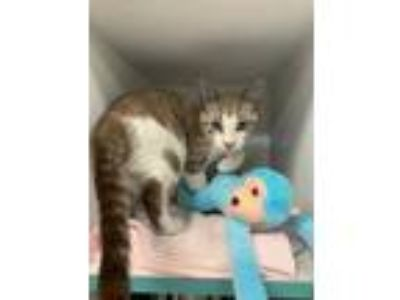 Adopt Neil a White Siamese / Domestic Shorthair / Mixed cat in Clearwater