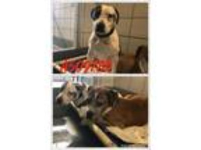 Adopt DULCE a White - with Black American Staffordshire Terrier / Mixed dog in