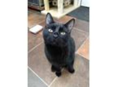 Adopt Mr. Cat a All Black Domestic Shorthair / Domestic Shorthair / Mixed cat in