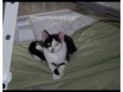 Adopt Kitty Bear a Black & White or Tuxedo American Shorthair cat in Smyrna