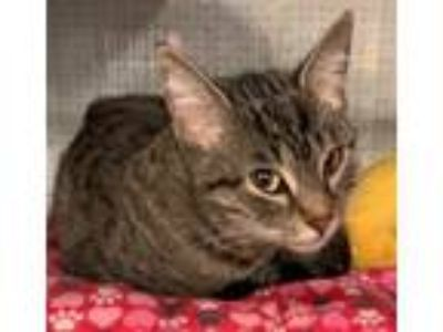 Adopt Apple a Brown Tabby Domestic Shorthair / Mixed (short coat) cat in