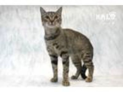 Adopt Orchid a Domestic Short Hair