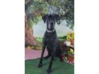 Adopt Vader **Courtesy Cupid** a Black - with Gray or Silver Great Dane / Mixed