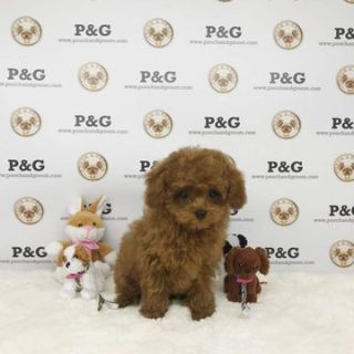 Poodle (Toy) PUPPY FOR SALE ADN-75212 - Poodle Toy  Duke Male