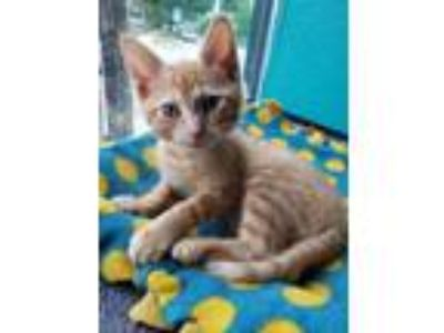 Adopt Brenda a Domestic Short Hair
