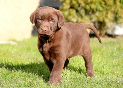 Labrador Retriever PUPPY FOR SALE ADN-71361 - Chocolate Lab Puppy for Sale
