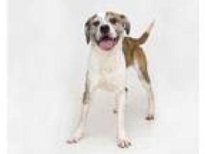 Adopt BAILEY a White - with Brown or Chocolate St. Bernard / Mixed dog in