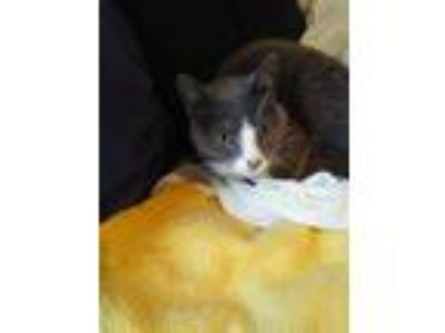 Adopt Cat stevens a Gray or Blue Domestic Shorthair / Mixed cat in Traverse