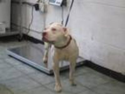 Adopt Vincent a White Pit Bull Terrier dog in Weatherford, TX (25531442)