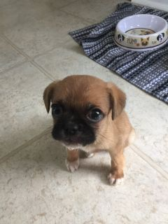 cute dog needing a home puggle beagle and pug mix