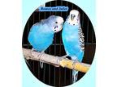 Adopt Romeo and Juliet a Blue Budgie bird in Tampa, FL (20105304)