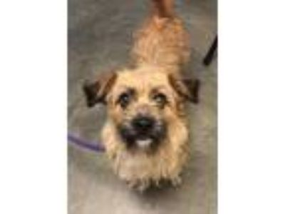 Adopt Cheyenne a Brown/Chocolate Terrier (Unknown Type, Small) / Mixed dog in