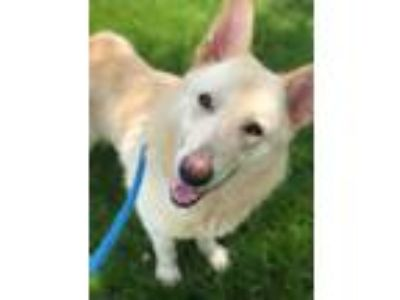 Adopt Lobo a Tan/Yellow/Fawn German Shepherd Dog / Mixed dog in Kansas City