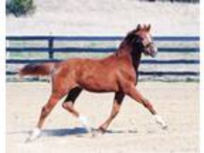 2018 Premium Oldenburg Filly by Italian Warmblood Hunter Stallion Prototype