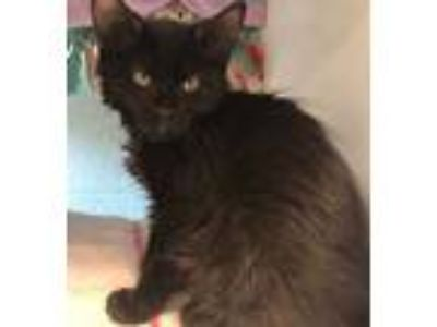 Adopt Gillie a All Black Domestic Longhair / Mixed (long coat) cat in Redwood