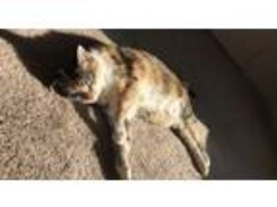 Adopt Marilyn a Calico or Dilute Calico Domestic Mediumhair / Mixed cat in