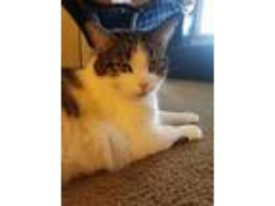 Adopt Indie a White (Mostly) Domestic Mediumhair / Mixed (medium coat) cat in