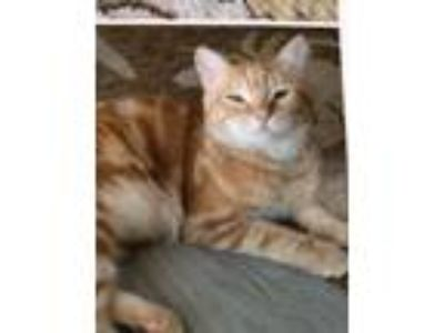 Adopt Pippy a Orange or Red (Mostly) American Shorthair / Mixed (short coat) cat