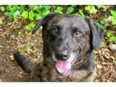 Adopt Ramsey a Black Labrador Retriever / Catahoula Leopard Dog / Mixed dog in