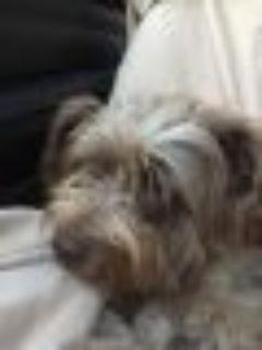Jaq? Leah Silky Terrier Dog