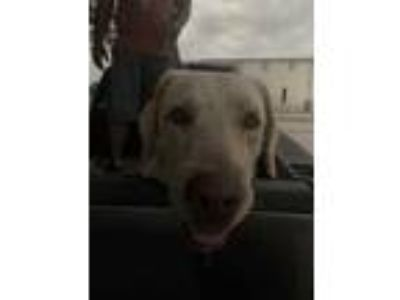 Adopt Layla a Tan/Yellow/Fawn Labrador Retriever / Mixed dog in Edinburg