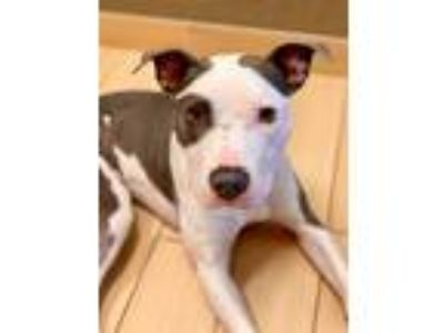 Adopt Mac Griffith a Gray/Silver/Salt & Pepper - with White American