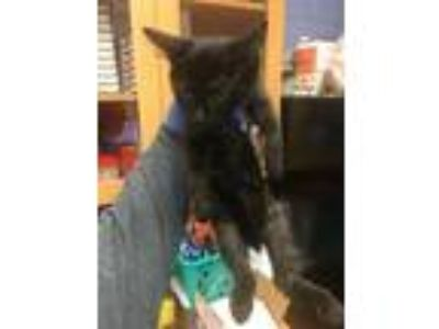 Adopt Big Head a All Black Domestic Mediumhair / Domestic Shorthair / Mixed cat
