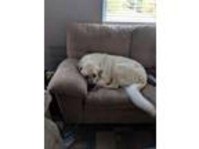 Adopt Hailey a Great Pyrenees
