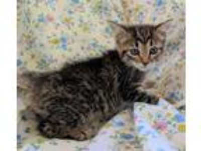 Adopt Tully 30723 a Brown Tabby Domestic Shorthair / Mixed (short coat) cat in