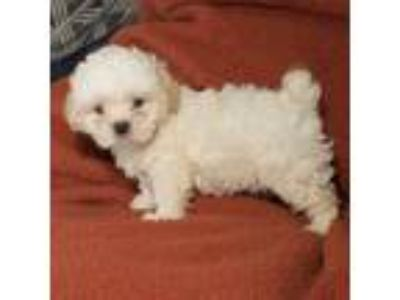 Adopt Frost a White - with Tan, Yellow or Fawn Shih Tzu / Mixed dog in Troy