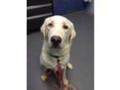 Adopt Rocky a Tan/Yellow/Fawn Labrador Retriever / Mixed dog in Lafayette