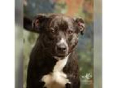 Adopt Madonna a Brindle American Pit Bull Terrier / Mixed dog in Harrisonburg