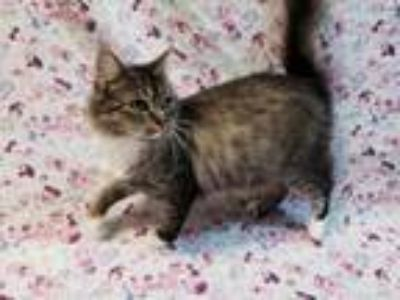Adopt Aurora a Domestic Medium Hair